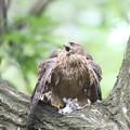 200711-7雛が孵ったと思われる日から59日目・幼鳥と餌