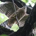 Photos: 200713-9雛が孵ったと思われる日から61日目・幹が邪魔・幼鳥の舞い