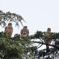 Photos: 200715-3雛が孵ったと思われる日から63日目・幼鳥三羽