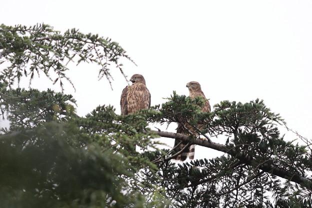 200716-8雛が孵ったと思われる日から64日目・幼鳥2羽