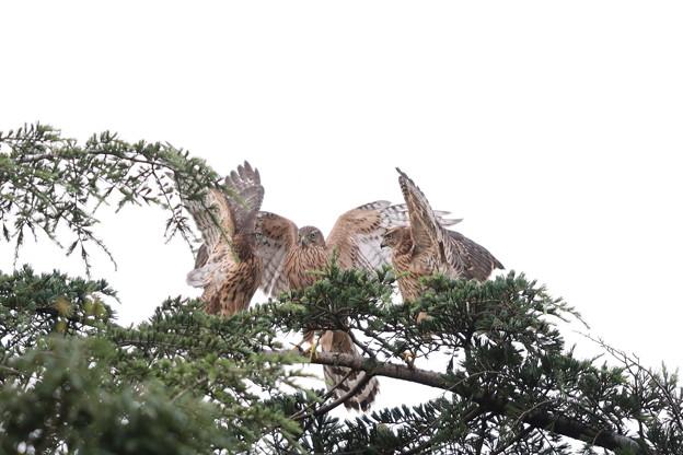 200716-9雛が孵ったと思われる日から64日目・幼鳥3羽