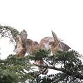 Photos: 200716-9雛が孵ったと思われる日から64日目・幼鳥3羽