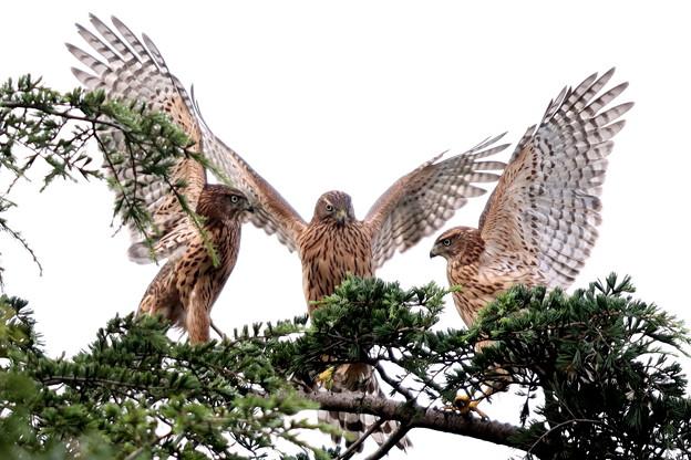 200716-10-2雛が孵ったと思われる日から64日目・すごい瞬間・幼鳥3羽