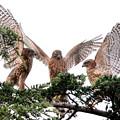 Photos: 200716-10-2雛が孵ったと思われる日から64日目・すごい瞬間・幼鳥3羽