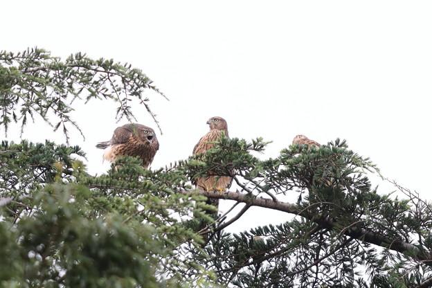 200716-11雛が孵ったと思われる日から64日目・幼鳥3羽・左のコが吠えています