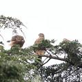 Photos: 200716-11雛が孵ったと思われる日から64日目・幼鳥3羽・左のコが吠えています