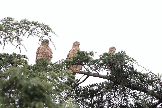 200716-12雛が孵ったと思われる日から64日目・幼鳥3羽・左向け左