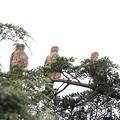 Photos: 200716-12雛が孵ったと思われる日から64日目・幼鳥3羽・左向け左