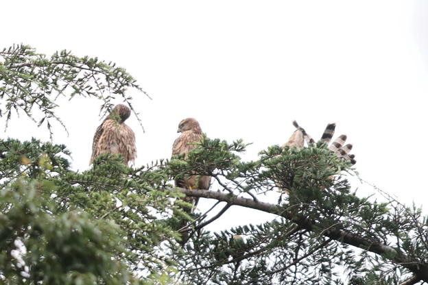 200716-14雛が孵ったと思われる日から64日目・幼鳥3羽・右のコは何をしているのでしょう?