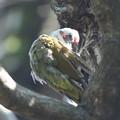 200928-5羽繕いをするアオゲラ
