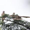 Photos: 200716-15雛が孵ったと思われる日から64日目・幼鳥3羽・一羽が飛び立ちました(1/4)