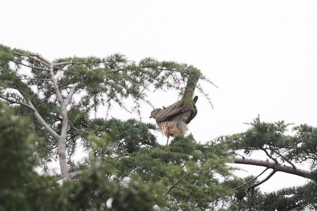 200724-19雛が孵ったと思われる日から72日目・失礼!・幼鳥(別のコです)