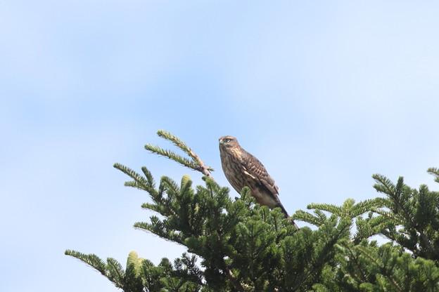 200726-1雛が孵ったと思われる日から74日目・久しぶりの青空・幼鳥