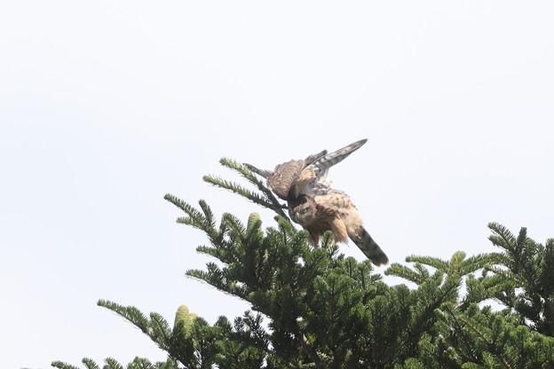 200726-2雛が孵ったと思われる日から74日目・幼鳥
