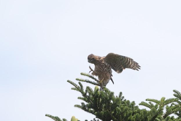 200726-4雛が孵ったと思われる日から74日目・カキカキしてバランスを崩した幼鳥