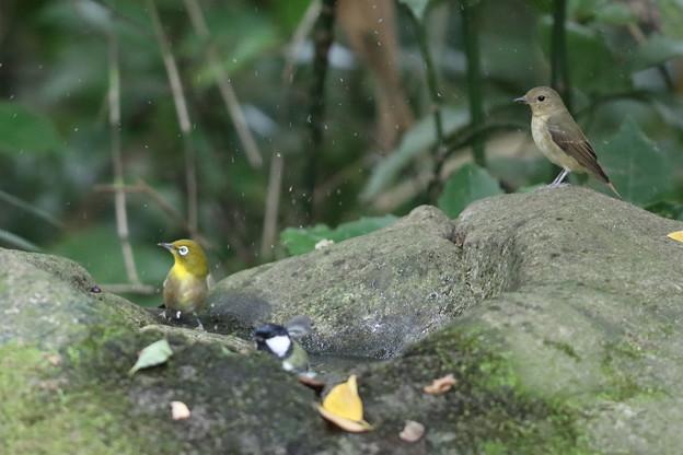 201014-8キビタキ♀t(右)とメジロの前で水浴びをするシジュウカラ