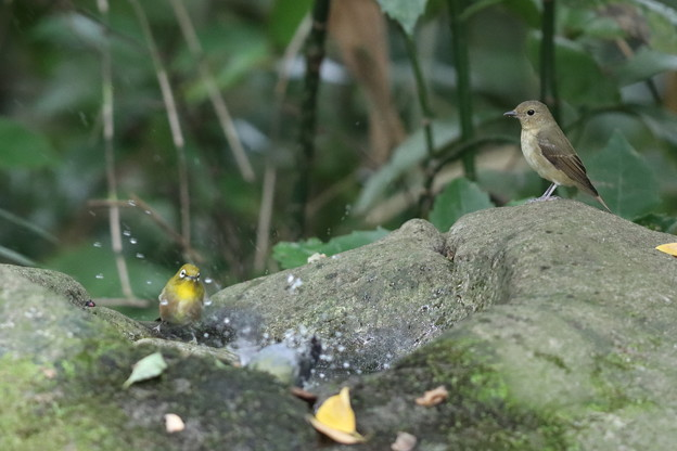 201014-9キビタキ♀t(右)とメジロの前で水浴びをするシジュウカラ