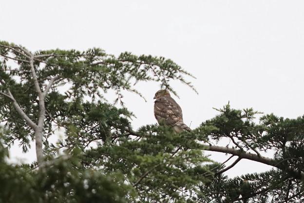 200729-1雛が孵ったと思われる日から77日目・幼鳥