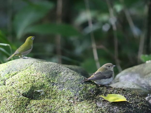 201022-5キビタキ♀t(右)とメジロ