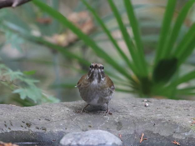 201124-1シロハラ♀