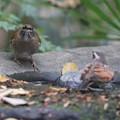 201124-7シロハラ♀(左)とツグミ