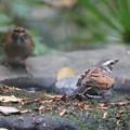 201124-8ツグミ(右)とシロハラ♀