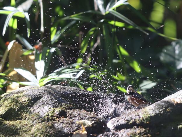 201126-9シジュウカラの水浴び・ヤマガラ「上品に入るのよって言ったのに」(4/6)
