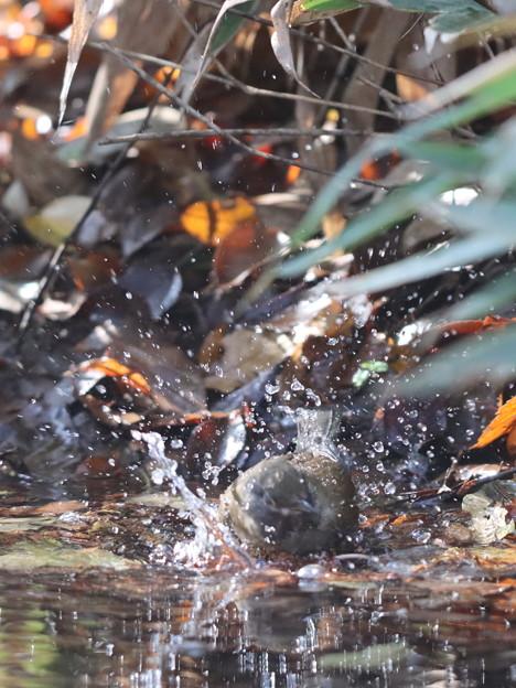 201126-13シロハラの水浴び