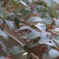 Photos: 210108-17クロガネモチの実を食べるヒヨドリ