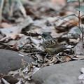 Photos: 210115-3枯れ葉をくわえたアオジ
