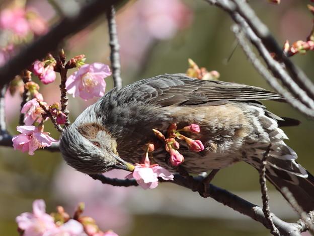 210218-2カワヅザクラの蜜を吸うヒヨドリ