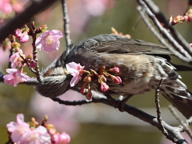 Photos: 210218-3カワヅザクラの蜜を吸うヒヨドリ