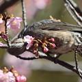 210218-3カワヅザクラの蜜を吸うヒヨドリ