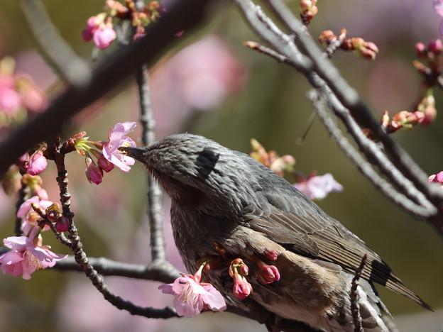 210218-4カワヅザクラの蜜を吸うヒヨドリ