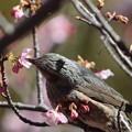 Photos: 210218-4カワヅザクラの蜜を吸うヒヨドリ