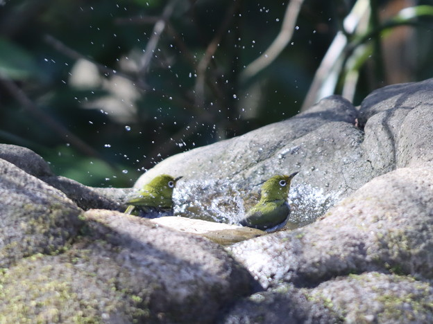 210218-8メジロの水浴び