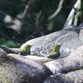 Photos: 210218-8メジロの水浴び