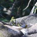 Photos: 210218-9メジロの水浴び