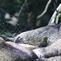 Photos: 210218-10メジロの水浴び