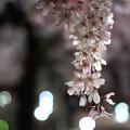 夜のしだれ桜 満開 1