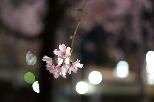 夜のしだれ桜 満開 2