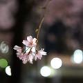 Photos: 夜のしだれ桜 満開 2