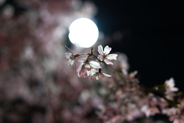夜のしだれ桜 満開 3