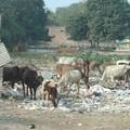 Photos: 028町に中に沢山の牛