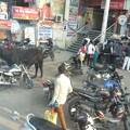 Photos: 061喧騒な町に牛も一緒