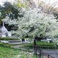16山桜 (2)
