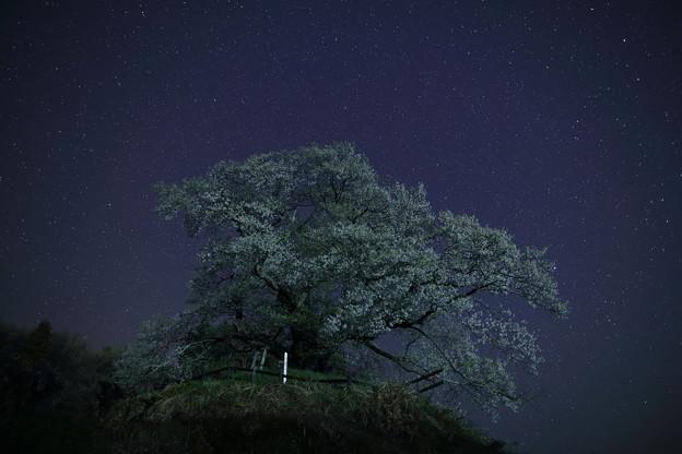 写真: 夜桜2