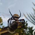 写真: 蝉を捕獲