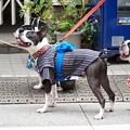 写真: 祭りの犬たち