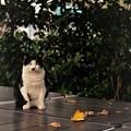 Photos: 牛柄のネコ